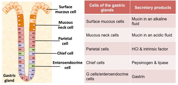 Human structure virtual microscopy see the diagram and table below to review the cells and secretions of the gastric glands ccuart Gallery
