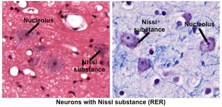 Human Structure Virtual Microscopy Differentiate until only nuclei and nissl bodies are blue purple. human structure virtual microscopy